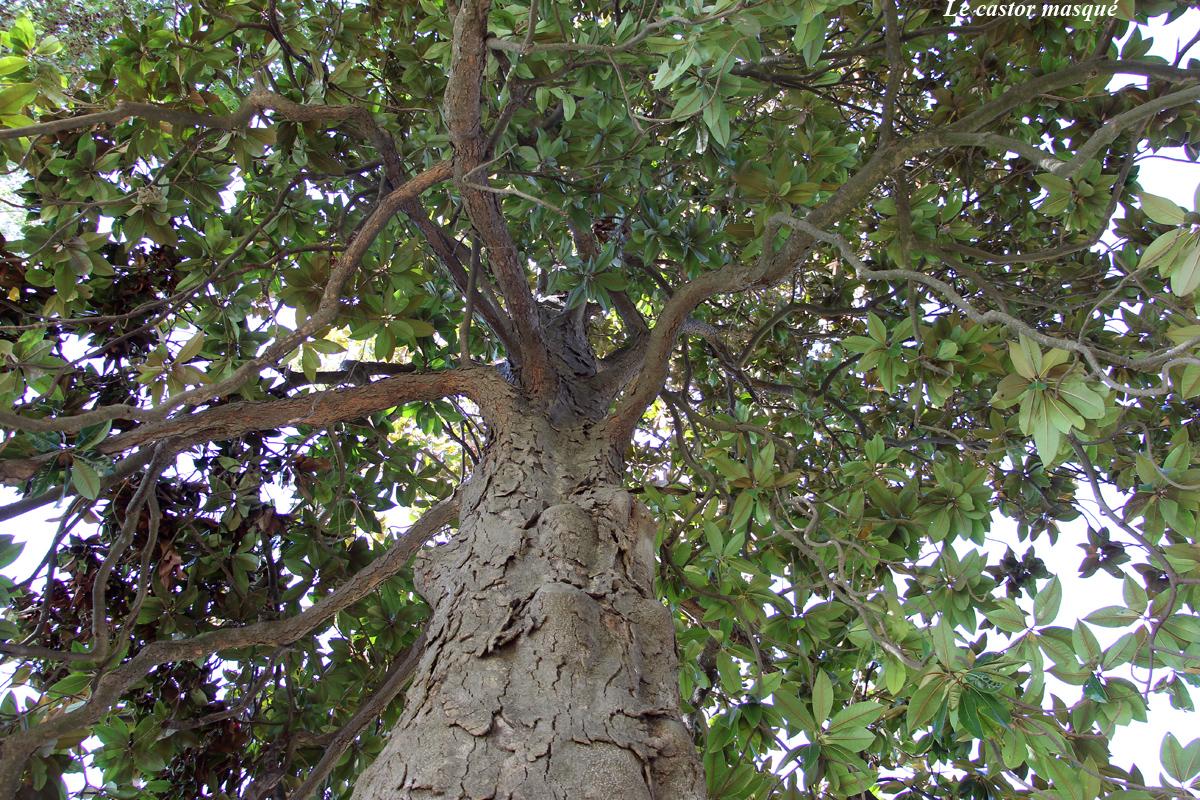 Magnolia-grandes-fleurs-laverune6