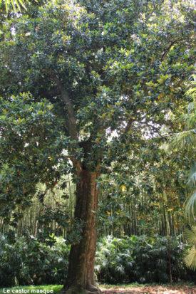 Magnolia-grandiflora-bambouseraie-anduze1