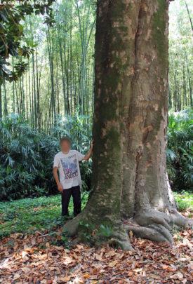 Magnolia-grandiflora-bambouseraie-anduze4