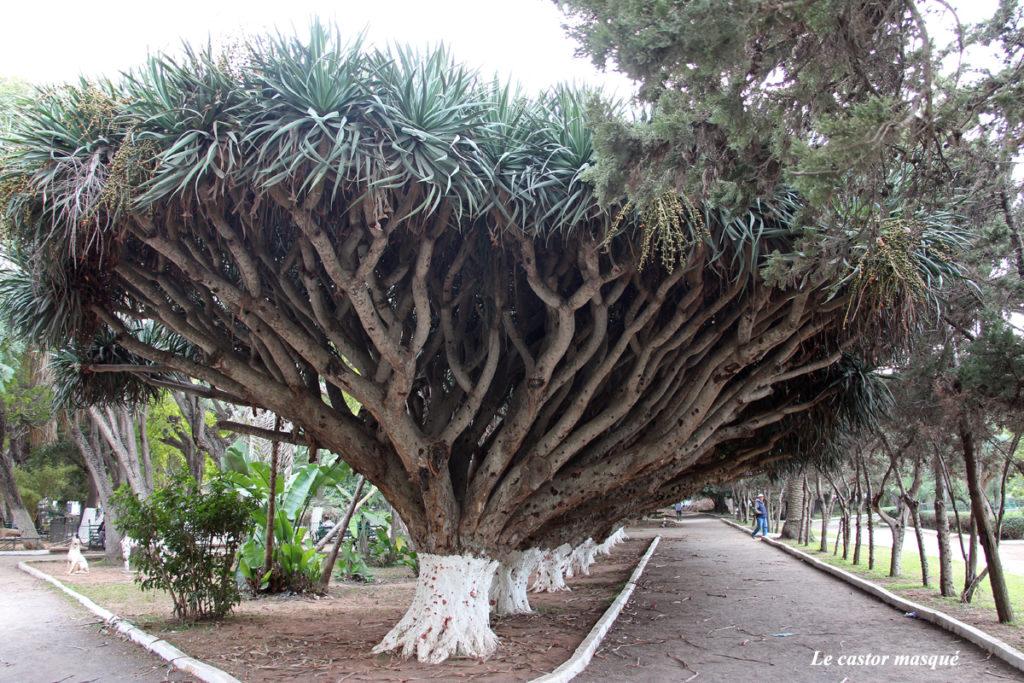 maroc2015-aloe-dichotoma-triangle-de-vue-rabat1