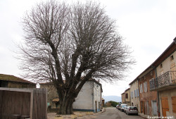 Marronnier-st-michel-de-chabrillanoux1