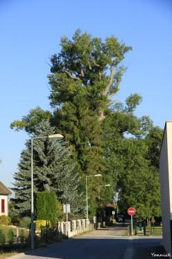 Peuplier noir la pouplie Boult-sur-Suippe, Marne, Yannick Morhan (1)