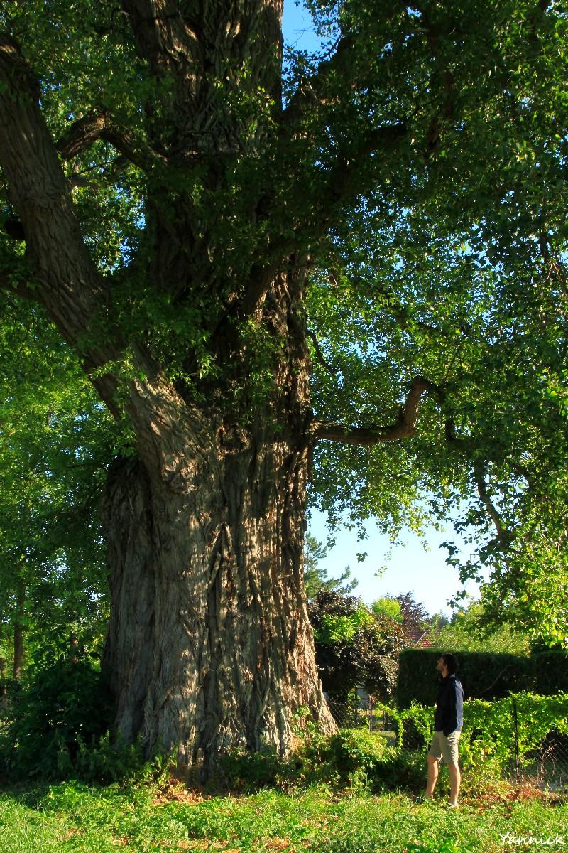 Peuplier noir la pouplie Boult-sur-Suippe, Marne, Yannick Morhan (10)