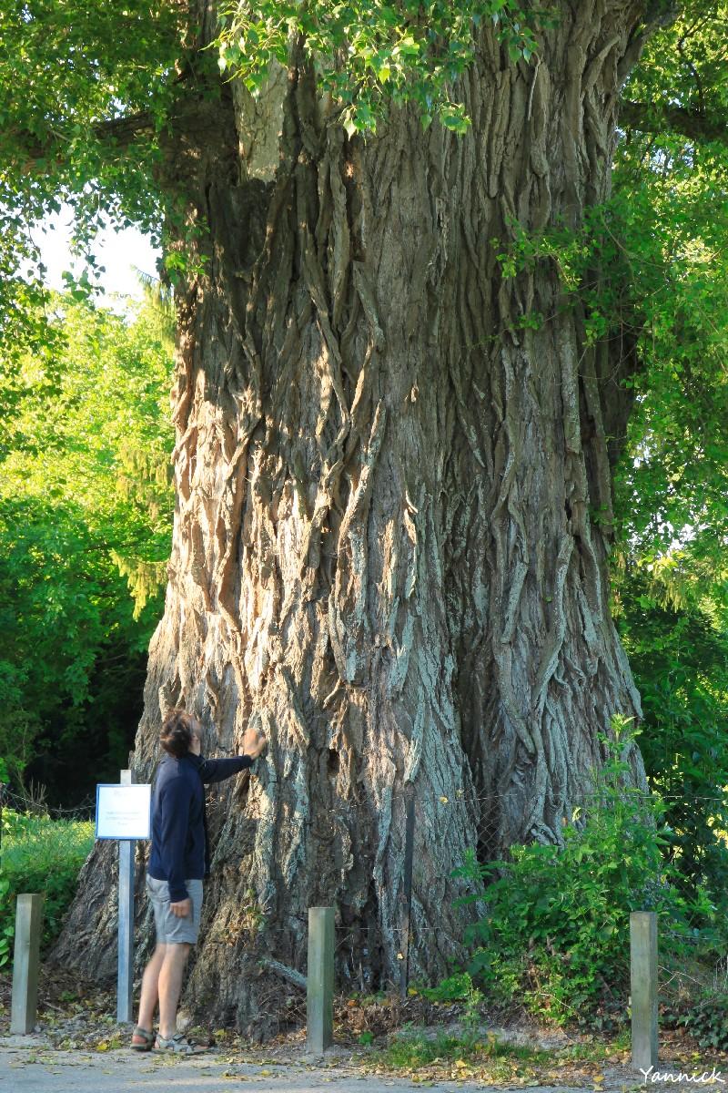 Le peuplier noir « la Pouplie » de Boult-sur-Suippe, Marne   Les têtards  arboricoles
