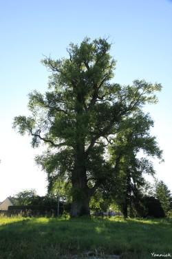 Peuplier noir la pouplie Boult-sur-Suippe, Marne, Yannick Morhan (7)