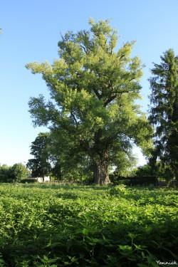 Peuplier noir la pouplie Boult-sur-Suippe, Marne, Yannick Morhan (8)