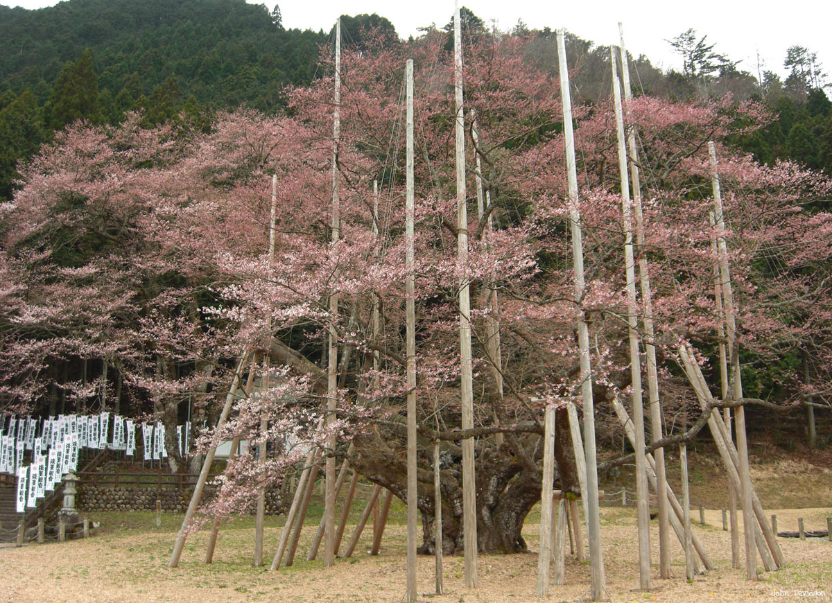 Picture of the Week Usuzumi Sakura, Neo Village, Japan copie