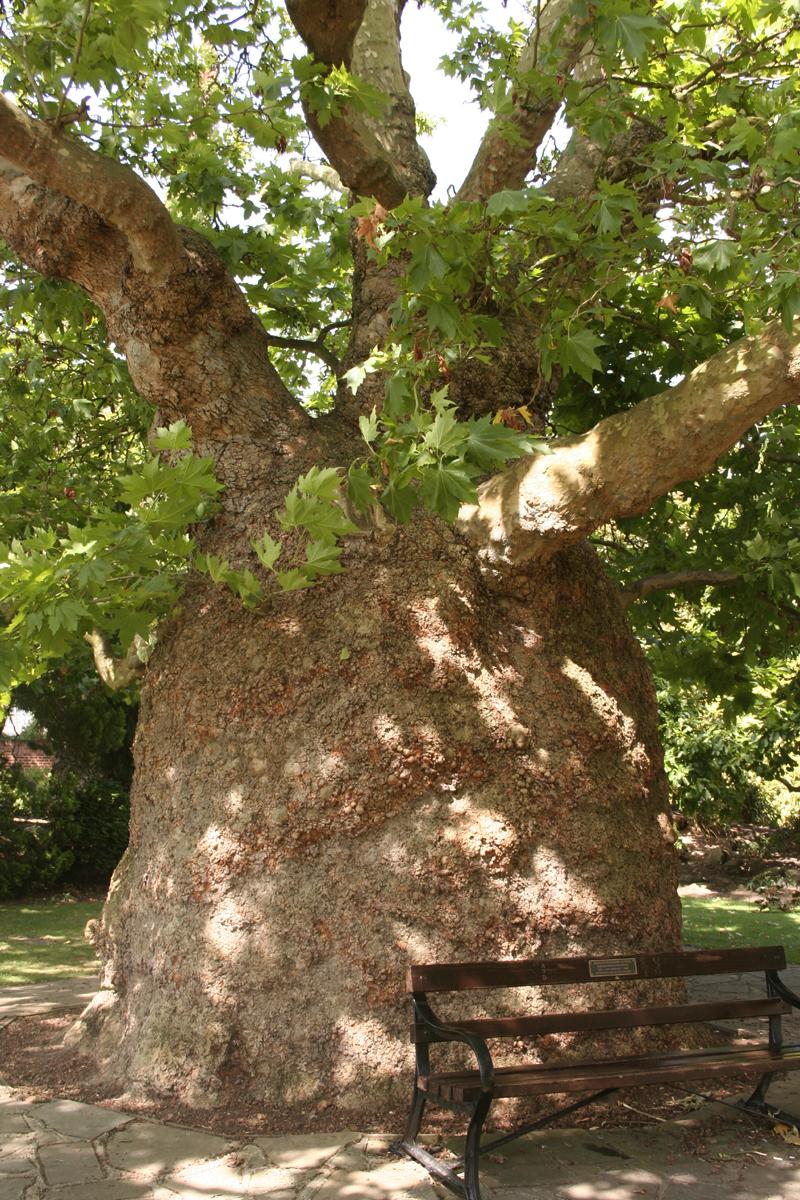 le platane de canterbury, kent, angleterre | les têtards arboricoles