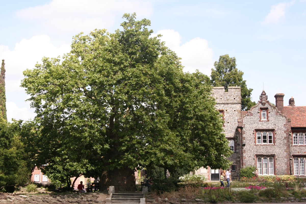 Plane tree in Canterbury Westgate Gardens 7,6 m (6)001