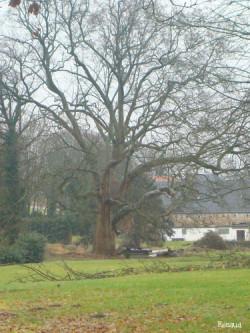 Platane de Donceel, Province de Liège, Belgique Renaud Gelaesen (3)