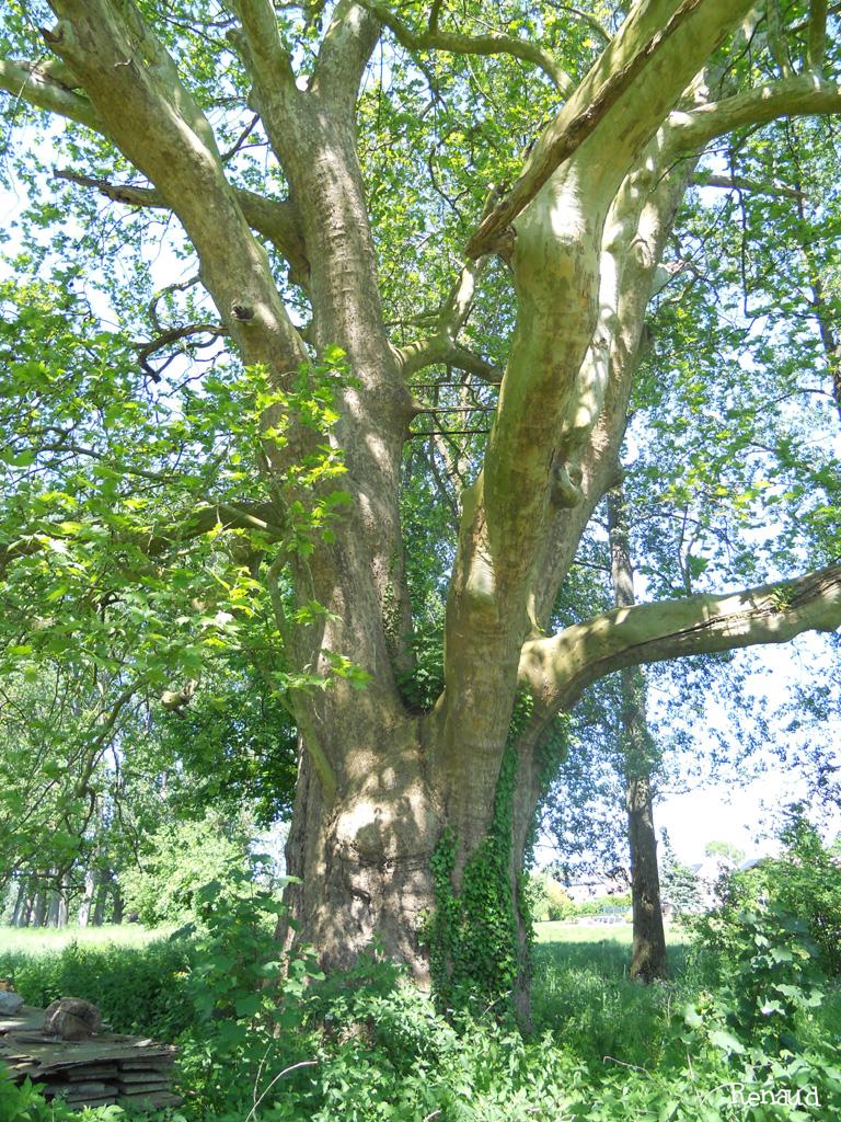 Platane de Donceel, Province de Liège, Belgique Renaud Gelaesen (4)