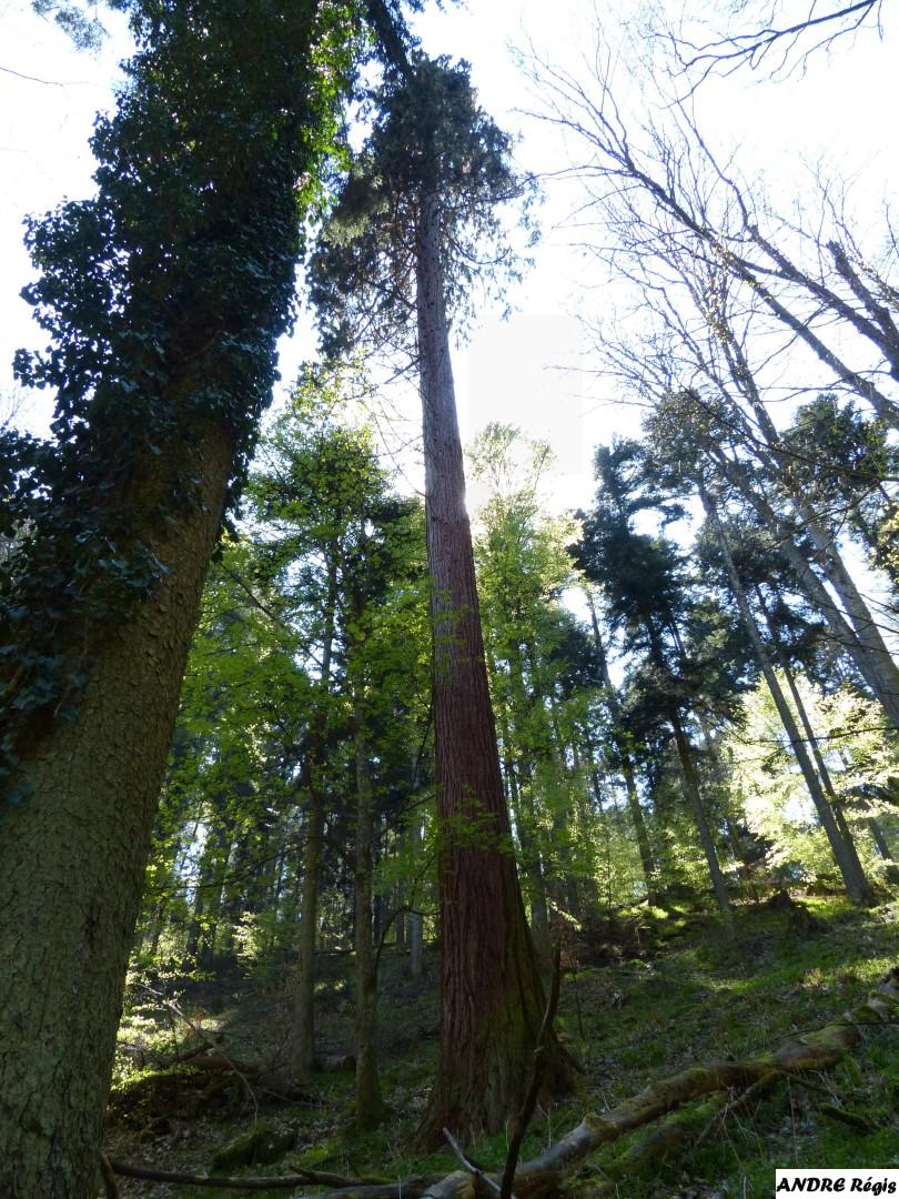 Séquia géant  du bois de l'Elendswald, Régis André (1)