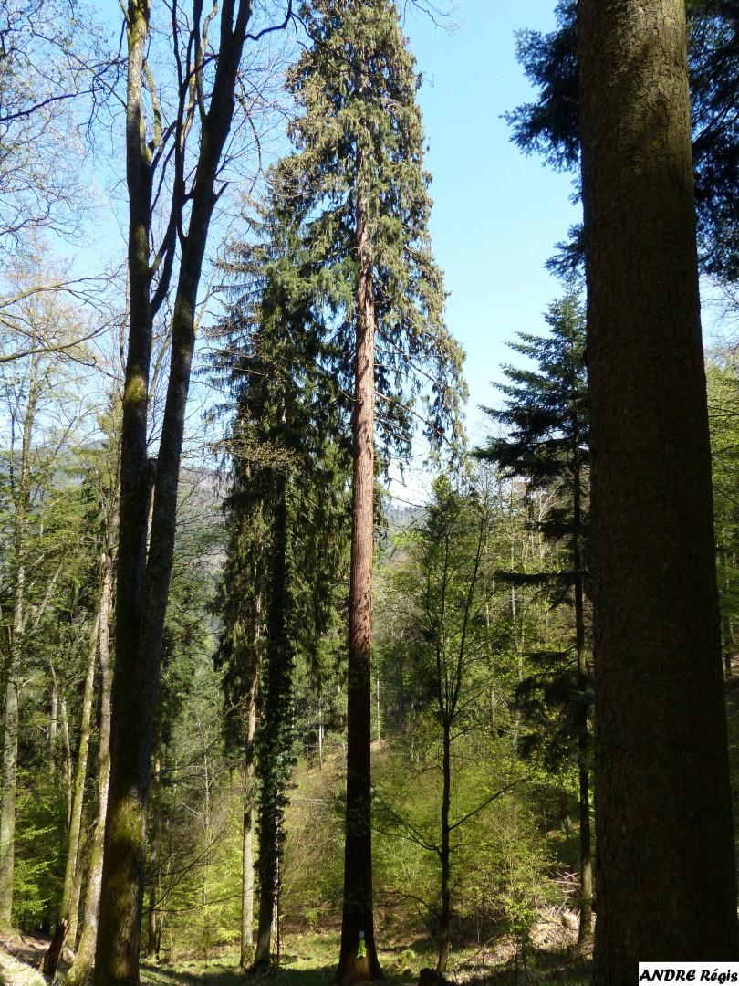 Séquia géant  du bois de l'Elendswald, Régis André (2)