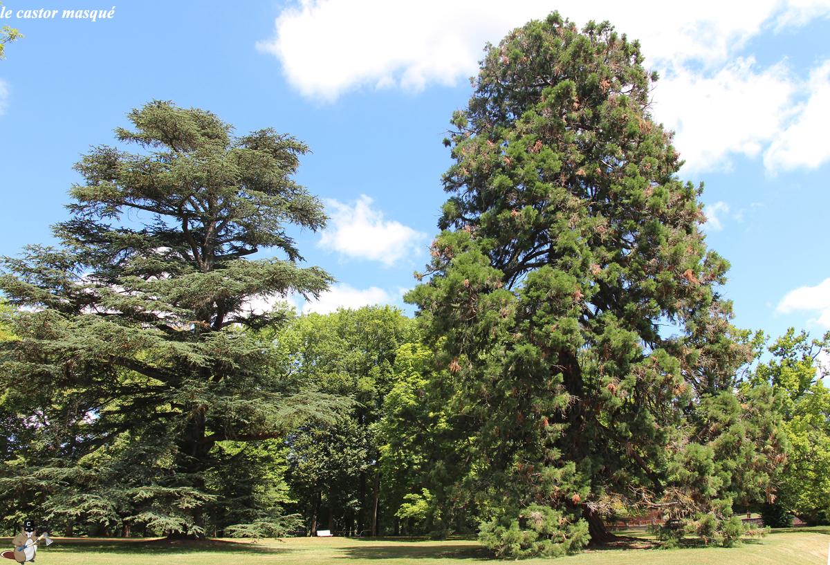 Séquoia-cèdre-randan1