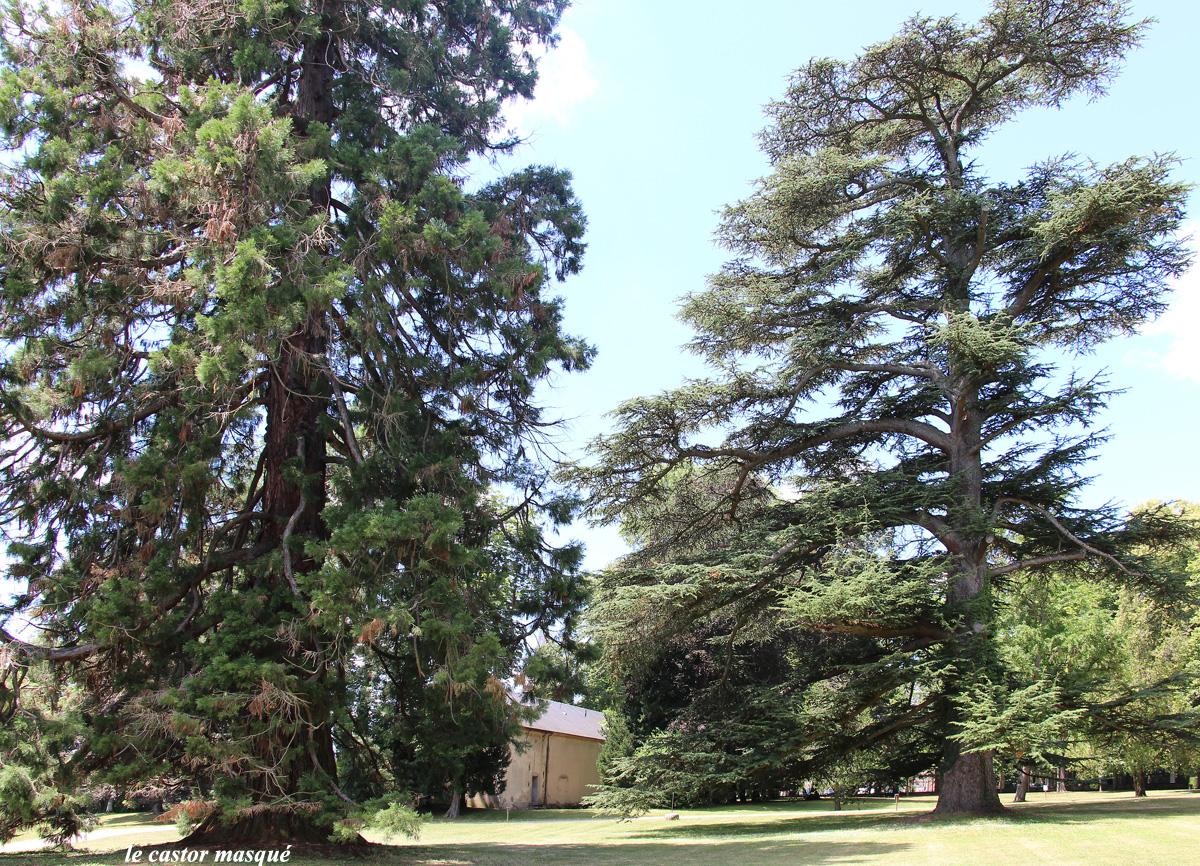 Séquoia-cèdre-randan2