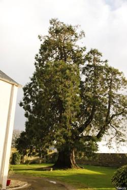 Séquoia géant de Pontivy, Morbihan, Yannick Morhan (11)
