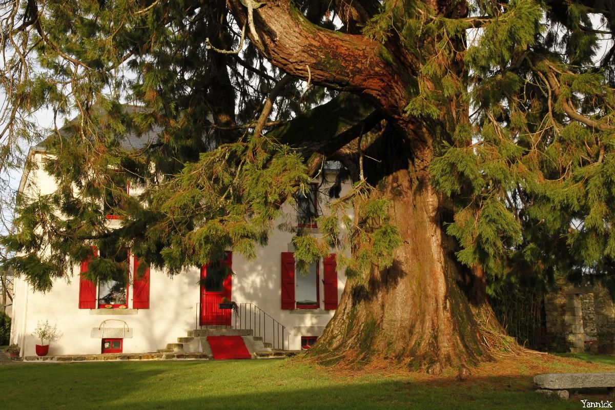 Séquoia géant de Pontivy, Morbihan, Yannick Morhan (12)