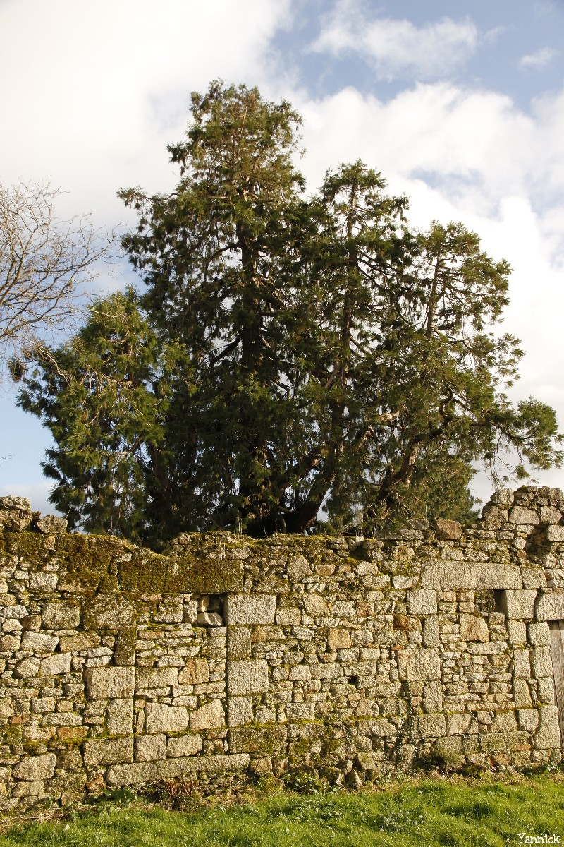 Séquoia géant de Pontivy, Morbihan, Yannick Morhan (2)