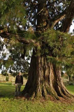 Séquoia géant de Pontivy, Morbihan, Yannick Morhan (3)