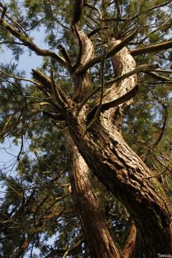 Séquoia géant de Pontivy, Morbihan, Yannick Morhan (4)