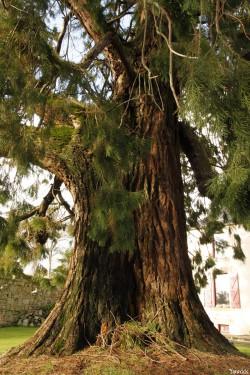 Séquoia géant de Pontivy, Morbihan, Yannick Morhan (5)
