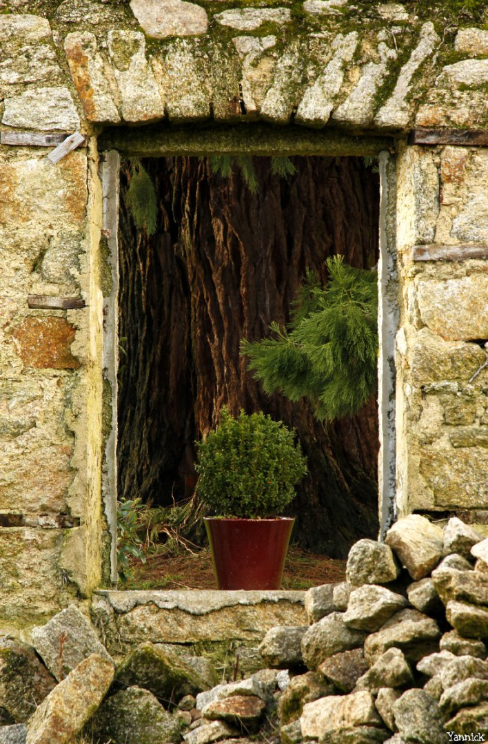 Séquoia géant de Pontivy, Morbihan, Yannick Morhan (6)