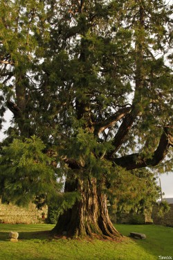 Séquoia géant de Pontivy, Morbihan, Yannick Morhan (7)