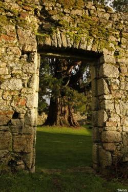 Séquoia géant de Pontivy, Morbihan, Yannick Morhan (8)