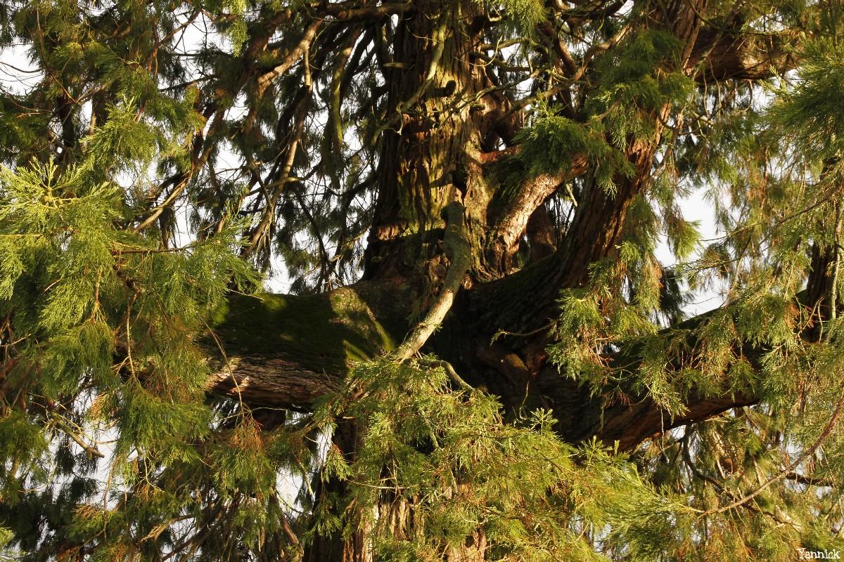 Séquoia géant de Pontivy, Morbihan, Yannick Morhan (9)