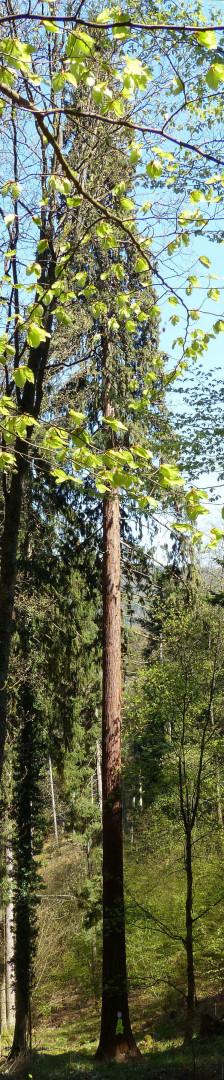 Séquoia géant  du bois de l'Elendswald Régis André