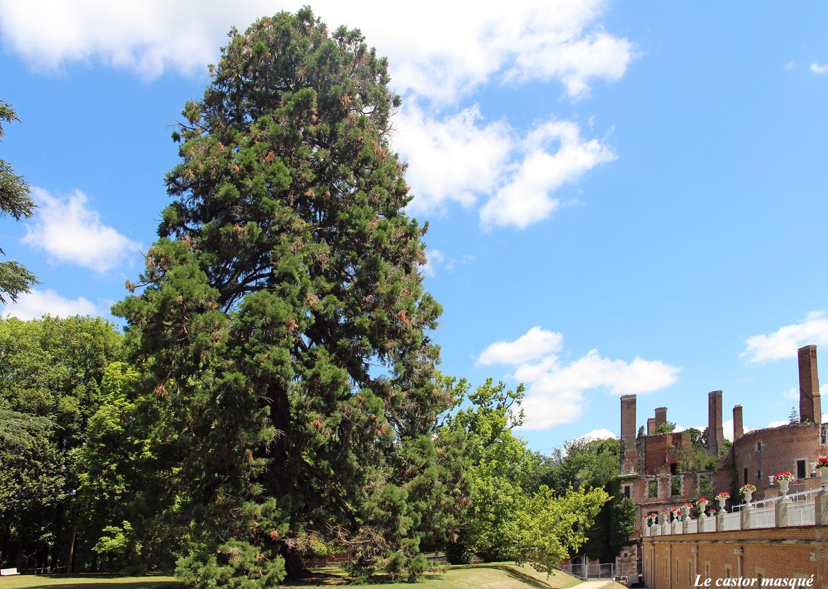 Séquoia-géant-randan1