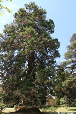 Séquoia-géant-randan2