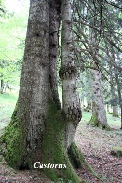 Sapins-lioran-castorus