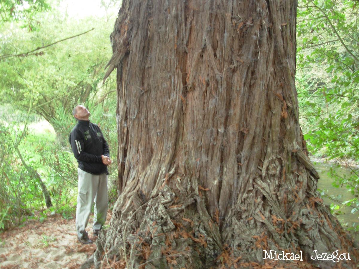 Sequoia Plouec du Trieux Mickael Jezegou 2