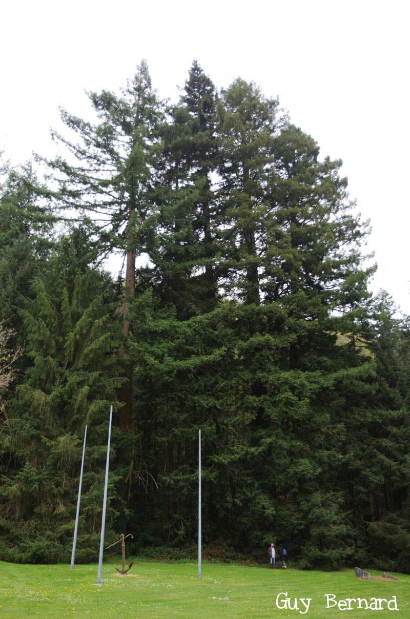 sequoias sempervirens h 57 m cir7 m