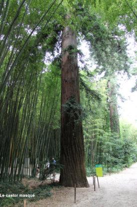 Sequoia-sempervirens-bambouserai-anduze1