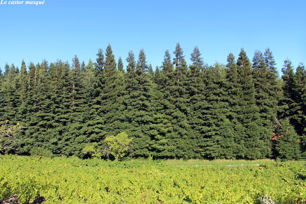 Sequoia-sempervirens-caunes-minervois1