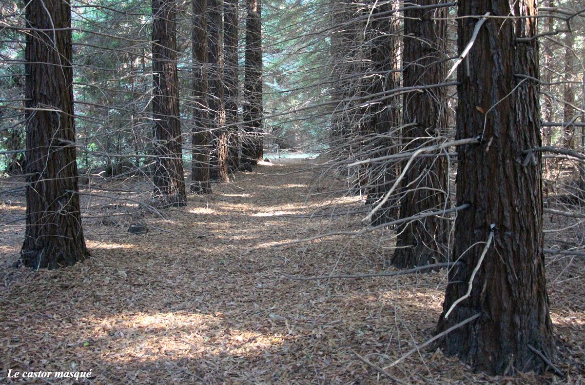 Sequoia-sempervirens-caunes-minervois3