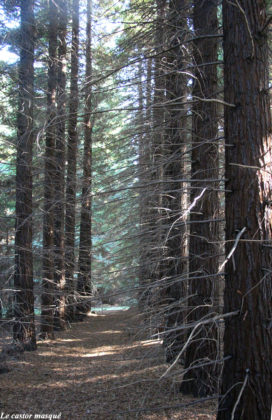 Sequoia-sempervirens-caunes-minervois4