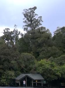 Tane Mahuta, arbre de droite