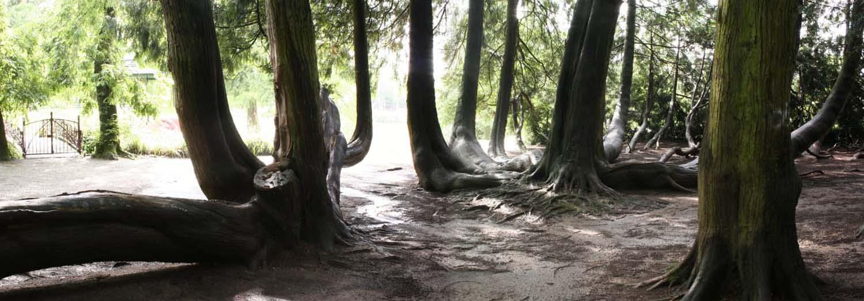 Thuya géant de Vitré Yannick (3)
