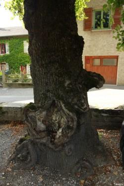 Tilleul d'Arbois, Franche Comté, Yannick Morhan (23)
