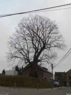 Tilleul de Ramelot, Province de liège, Belgique Reanud Gelaesen (11)