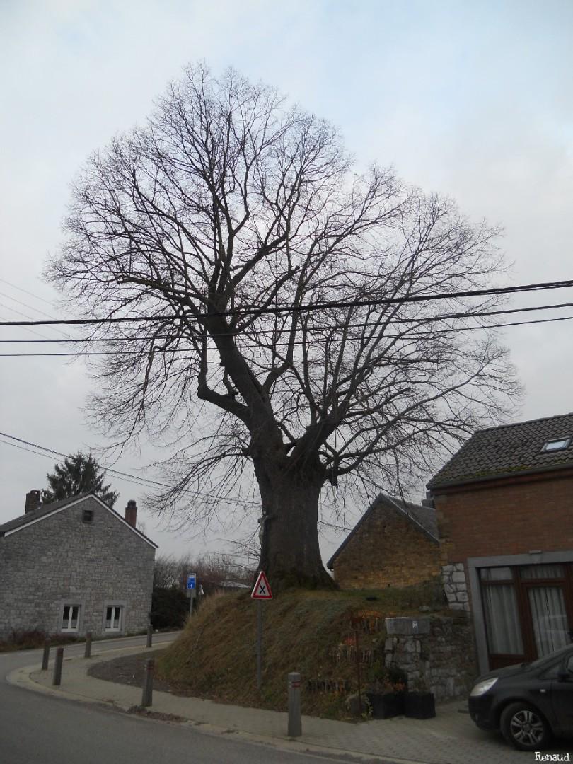 Tilleul de Ramelot, Province de liège, Belgique Reanud Gelaesen (12)