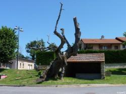 Tilleul de Sully Burdignes, Loire Arbres42 (3)