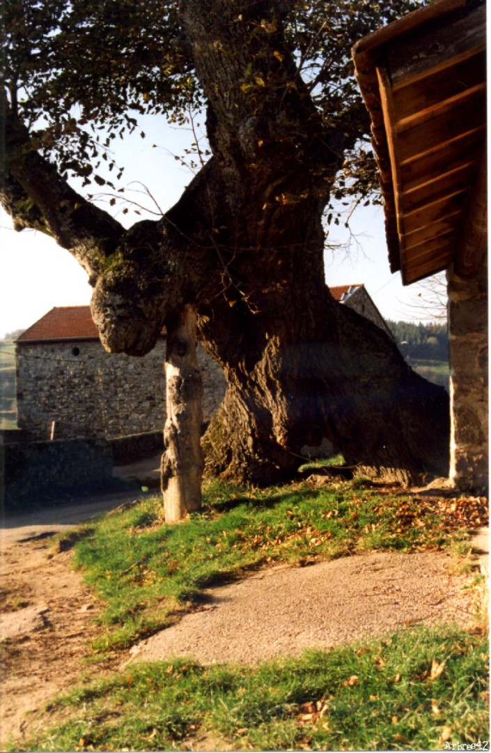 Tilleul de Sully Burdignes, Loire Arbres42 (4)