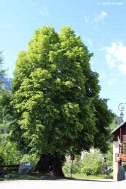 Tilleul-grandes-feuilles-st-colomban-les-villards3