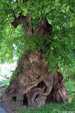 Tilleul-grandes-feuilles-st-colomban-les-villards8