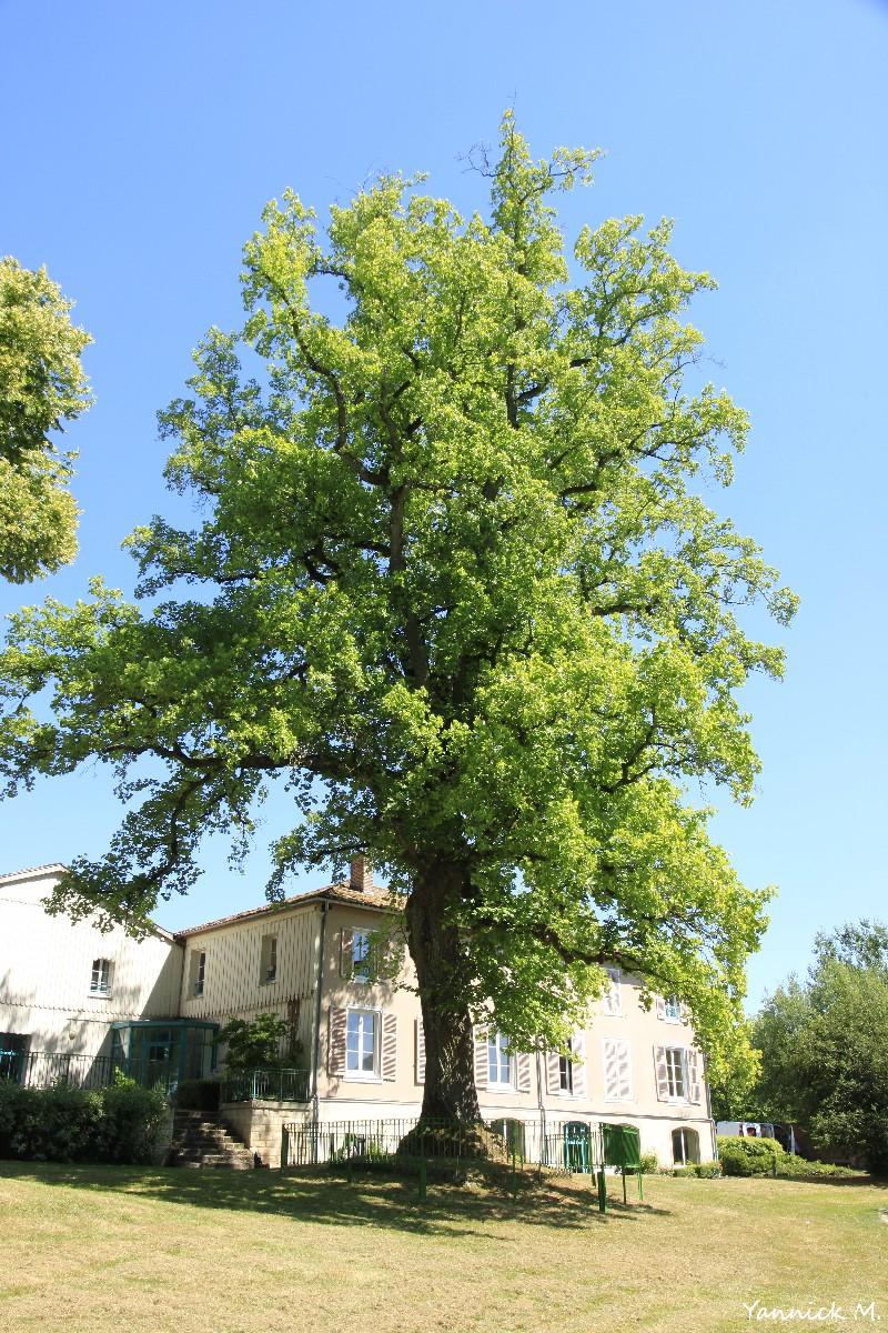 tulipier-arbre-sanglant-vienne-le-chateau-marne-yannick-morhan-1