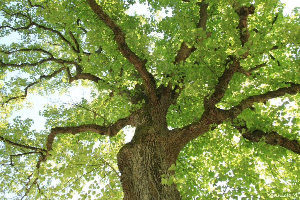 tulipier-arbre-sanglant-vienne-le-chateau-marne-yannick-morhan-4